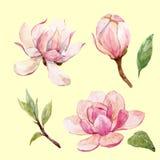 水彩木兰花卉传染媒介构成 库存图片