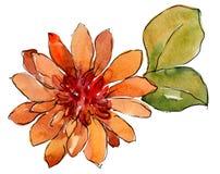 水彩橙色非洲雏菊花 花卉植物的花 被隔绝的例证元素 向量例证