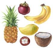 水彩热带水果和椰子集合 菠萝,椰子,香蕉,山竹果树,芒果 手画热带水果 皇族释放例证