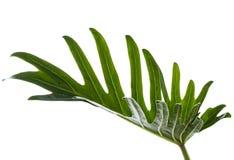 水彩热带爱树木的人xanadu叶子 库存图片