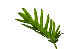 水彩热带爱树木的人xanadu叶子 免版税图库摄影