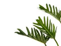 水彩热带爱树木的人xanadu叶子 免版税库存照片
