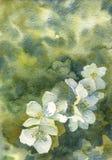水彩白色苹果开花 向量例证