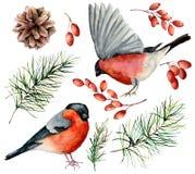 水彩红腹灰雀集合 手画鸟、冬天莓果、杉木锥体和在白色背景隔绝的冷杉分支 皇族释放例证