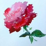 水彩艺术背景摘要红色桃红色唯一花玫瑰五颜六色织地不很细 库存照片