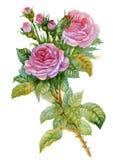 水彩花收集: 玫瑰 免版税库存照片