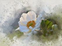 水彩被绘的白色银莲花属 库存例证