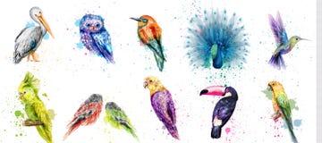 水彩鸟被设置的传染媒介 孔雀,猫头鹰,鹈鹕,鹦鹉,哼唱着鸟汇集 免版税图库摄影