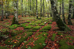水成岩在山毛榉森林里 库存图片