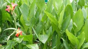 水投下浇灌的花 水滴灌溉与花的绿色热带叶子 股票视频