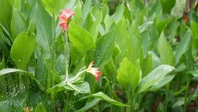 水投下浇灌的花 水滴灌溉与花的绿色热带叶子 影视素材
