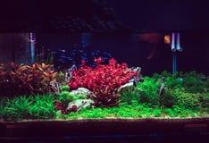 水族馆坦克特写镜头,与霓虹鱼游泳 库存图片