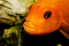 水族馆鱼特写镜头 在嘴是鼠和鱼子酱 免版税图库摄影