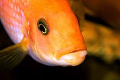 水族馆鱼特写镜头 在嘴是鼠和鱼子酱 库存照片