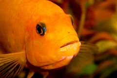 水族馆鱼特写镜头 在嘴是鼠和鱼子酱 免版税库存图片