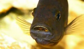 水族馆鱼特写镜头 在嘴是鼠和鱼子酱 免版税库存照片