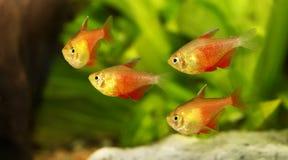 水族馆鱼红色火焰四Hyphessobrycon flammeus里约四热带 库存图片