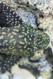 水族馆鱼Bushymouth鲶鱼Ancistrus dolichopterus 免版税库存照片