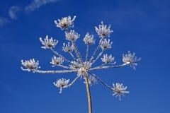 水晶冰伞形科植物冬天 库存图片