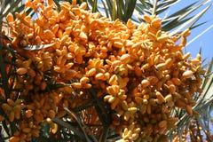 水果的棕榈树 库存图片