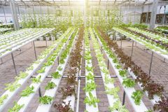 水栽法温室 有机绿色菜沙拉在健康、食物和农业构思设计的水栽法农场 免版税库存照片