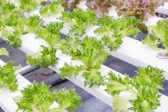 水栽法温室 有机绿色菜沙拉在健康、食物和农业构思设计的水栽法农场 免版税库存图片