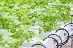 水栽法温室 有机绿色菜沙拉在健康、食物和农业构思设计的水栽法农场 免版税图库摄影