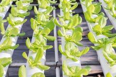 水栽法温室 有机绿色菜沙拉在水栽法农场 免版税库存照片