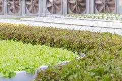 水栽法温室 有机绿色菜沙拉在水栽法农场 库存图片