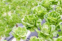 水栽法温室 有机绿色菜沙拉在水栽法农场 免版税库存图片