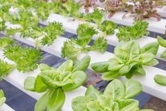 水栽法温室 有机绿色菜沙拉在水栽法农场 图库摄影