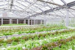 水栽法温室 有机绿色菜沙拉在水栽法农场 库存照片