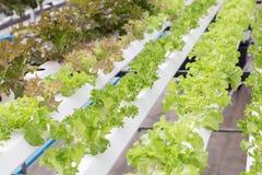 水栽法系统温室和有机菜沙拉在水栽法种田 库存照片