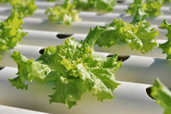水栽法蔬菜 图库摄影