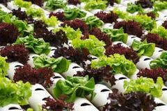 水栽法蔬菜 库存照片