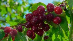 水水滴下落从成熟樱桃莓果的 股票视频