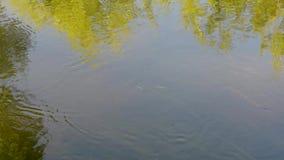 水流程在周围的水树的河反射的 股票视频