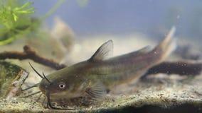 水渠鲶鱼,Ictalurus punctatus,在欧洲群落生境鱼水族馆的危险入侵的淡水掠食性动物在沙子底部 影视素材