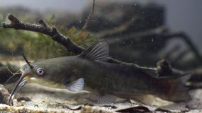 水渠鲶鱼,Ictalurus punctatus,在欧洲群落生境鱼水族馆的危险入侵的淡水掠食性动物在沙子底部 股票录像