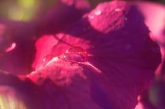 水滴在一朵桃红色花的瓣的 库存图片
