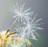 水滴在一朵蒲公英花的种子的在一个浅绿色和蓝色背景特写镜头宏指令的 一个柔和的通风艺术性的图象 库存照片
