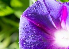 水滴在一朵蓝色花的 图库摄影