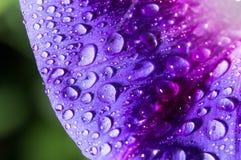 水滴在一朵蓝色花的 免版税库存图片