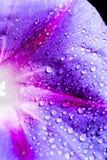 水滴在一朵蓝色花的 免版税库存照片