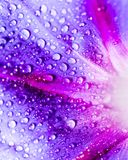 水滴在一朵蓝色花的 库存图片
