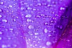 水滴在一朵蓝色花的 免版税图库摄影