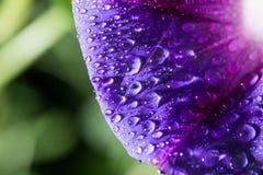 水滴在一朵蓝色花的 库存照片