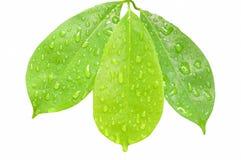 水滴在叶子的在白色背景 库存图片