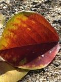 水滴在秋叶的 库存图片