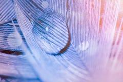 水滴在羽毛的在紫罗兰色和蓝色颜色,宏观照片 图库摄影